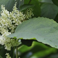 Lenders urged to overhaul Japanese knotweed policies as research discovers limited structural impact